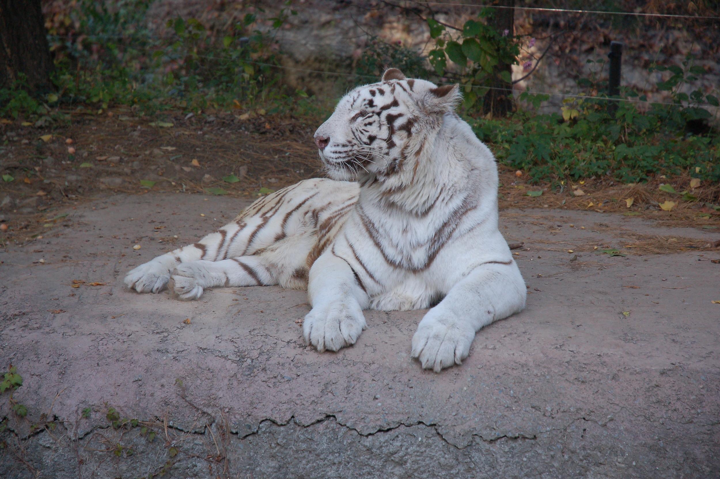 Safari Land - White Tiger
