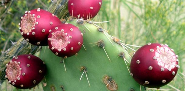 pearcactusextract