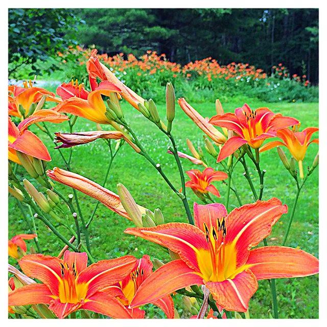 These #orangelilies #growlikeaweed #inmyyard like #wildthings