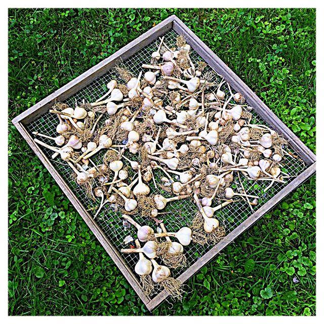 #mygarlicharvest #garlic #harvest #eachyearitgetsbetter