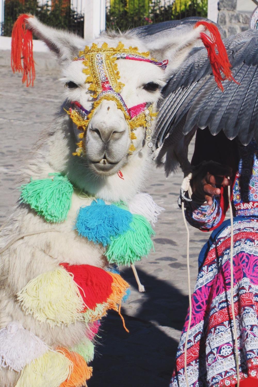 Best dressed llama in Yanque