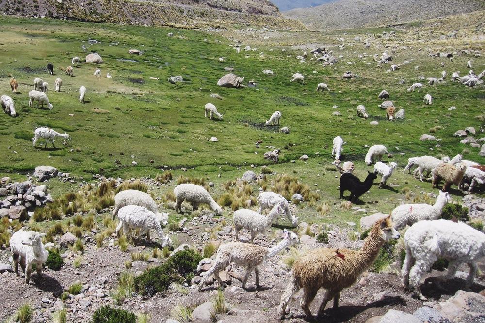 Grazing llamas and alpacas