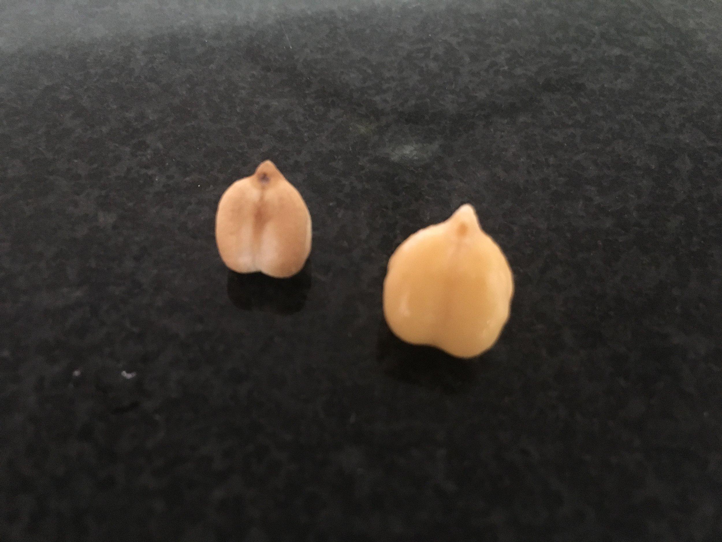 Aqui os grãos, antes e depois de permanecerem de molho. Pra dar uma referência de como o grão hidrata durante o remolho.