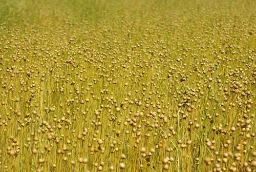 F2_flax.jpg