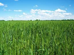 wheat5c.jpg