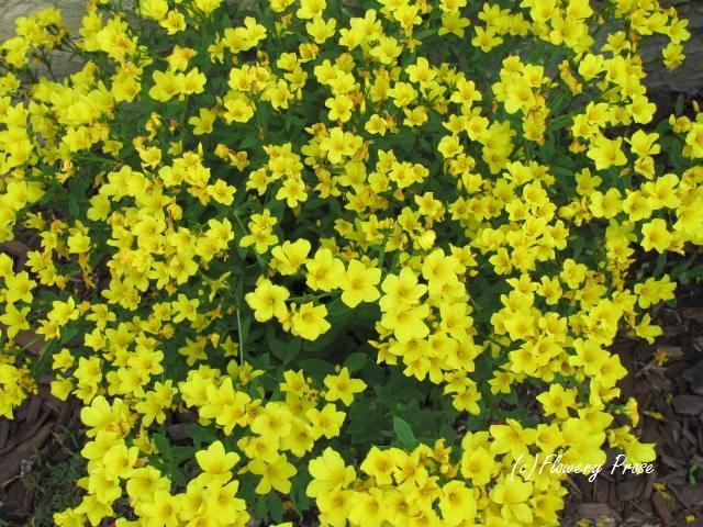 yellow-flax-fp.jpg