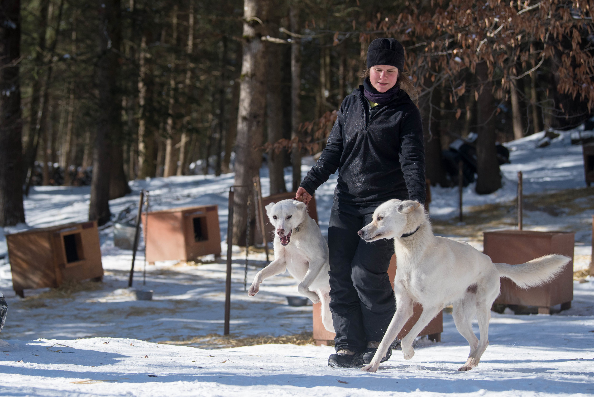 Handler Aurélie Lecoultre, who is abroad in Massachusetts from France to practice sports massage for animals, lends a helping hand at Hilltown Sleddogs.  Lecoultre keeps the dogs in tip-top shape, cleaning up after them, assisting with their raw feed diet, and checking their paws for contusions before each run.