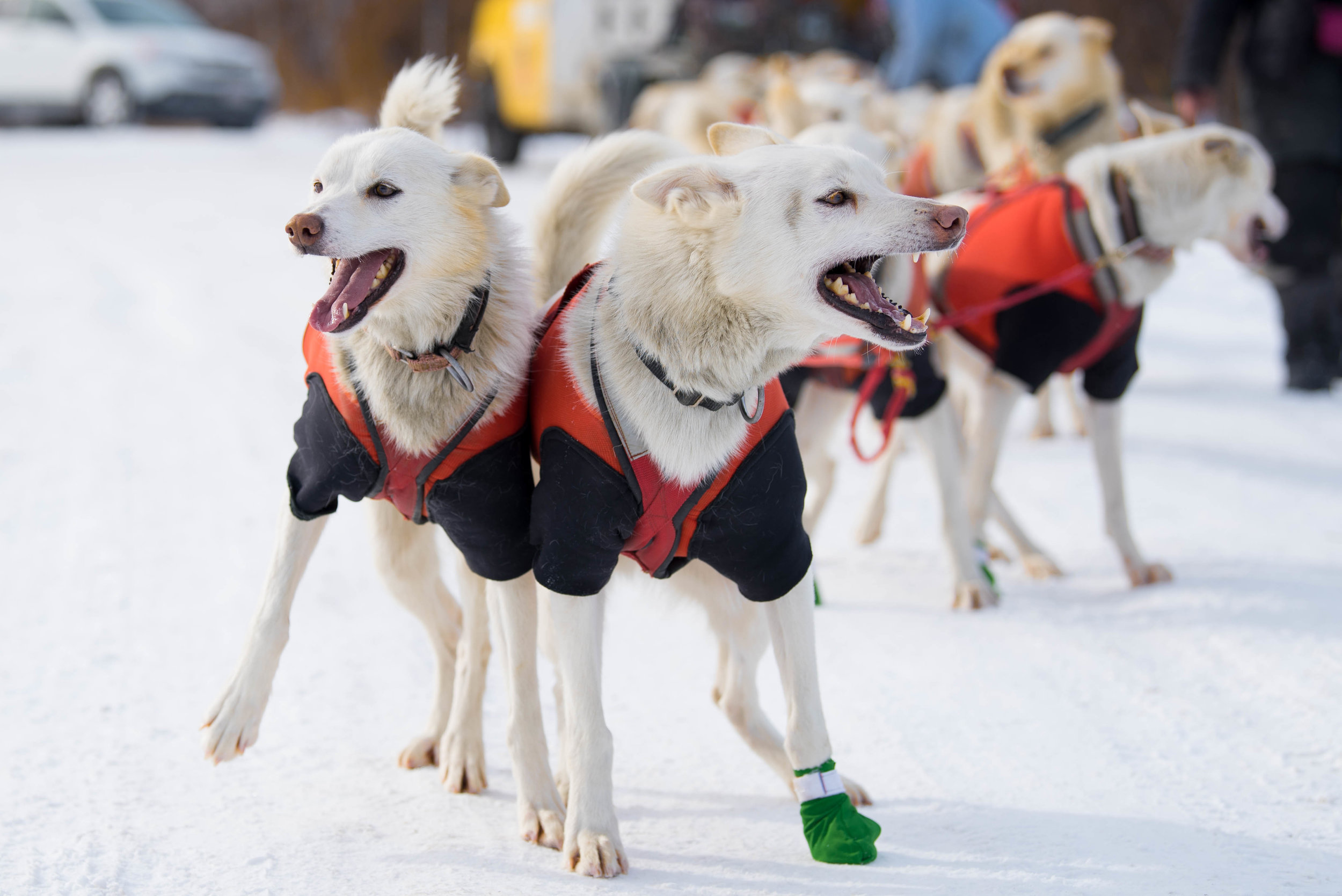 The Hilltown Sleddogs leap for joy as they anticipate their run, while the rest of the dogs are inspected and strapped on.  Before each run, the dogs have their paws inspected.  If necessary, a soft boot is applied to protect them from further scrapes or blisters.  These Alaskan Huskies are preparing for the 250 mile Can-Am Crown International in Maine.