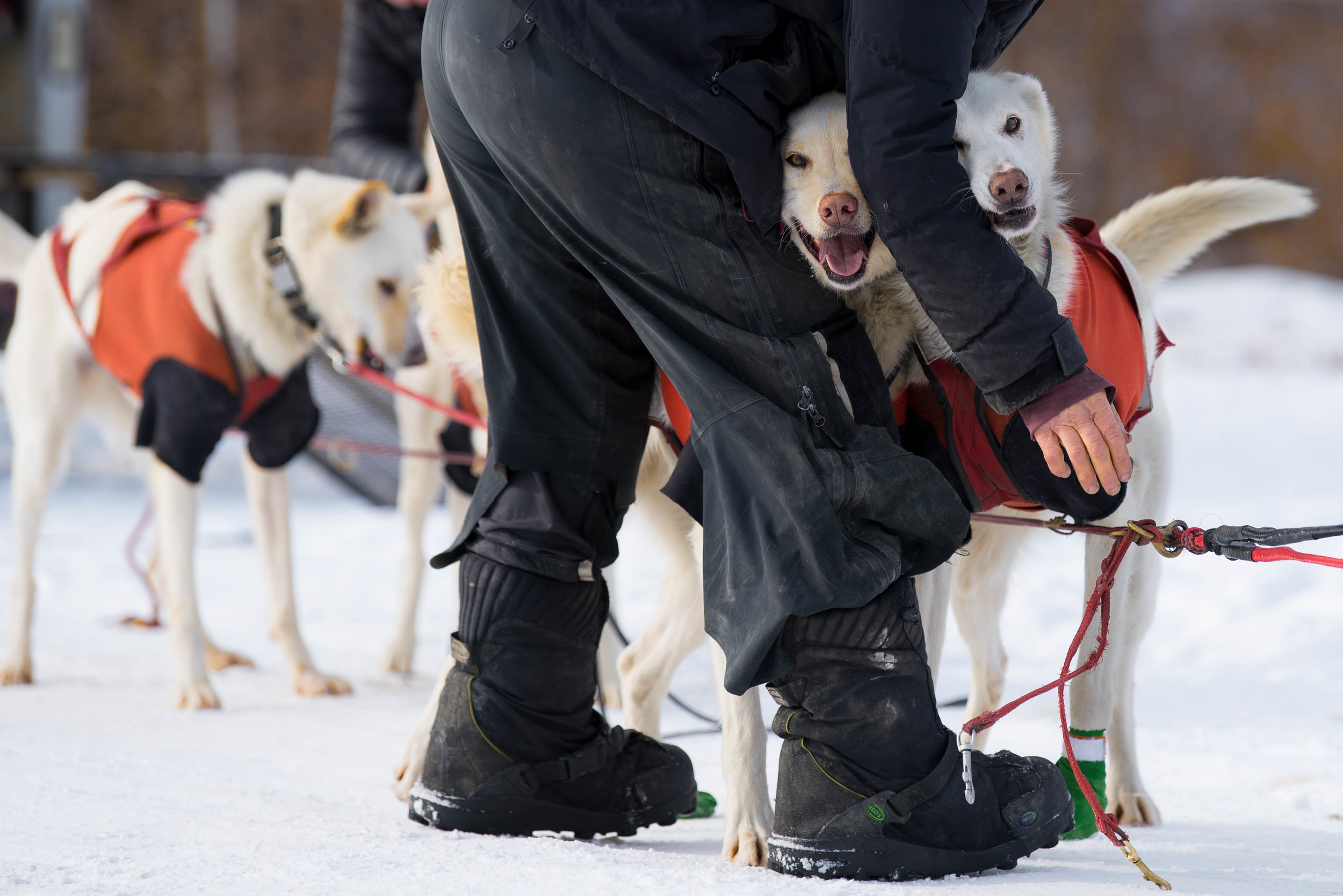 Before a run, each dog is inspected, harnessed, and assigned their position.  Sixteen dogs drive the sled, while the remaining six are on standby in case one of the running dogs becomes fatigued or injured during practice.  The Hilltown Sleddogs are currently preparing for the 250 mile Can-Am Crown International in March.