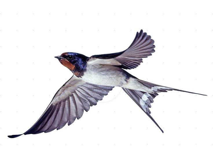 A flock of barn swallows nest beneath the boathouse.