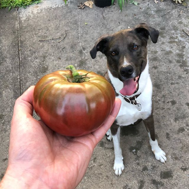 Hammy eyeing my finest tomato to date. A flawless one pound Cherokee Purple!  @nctomatoman