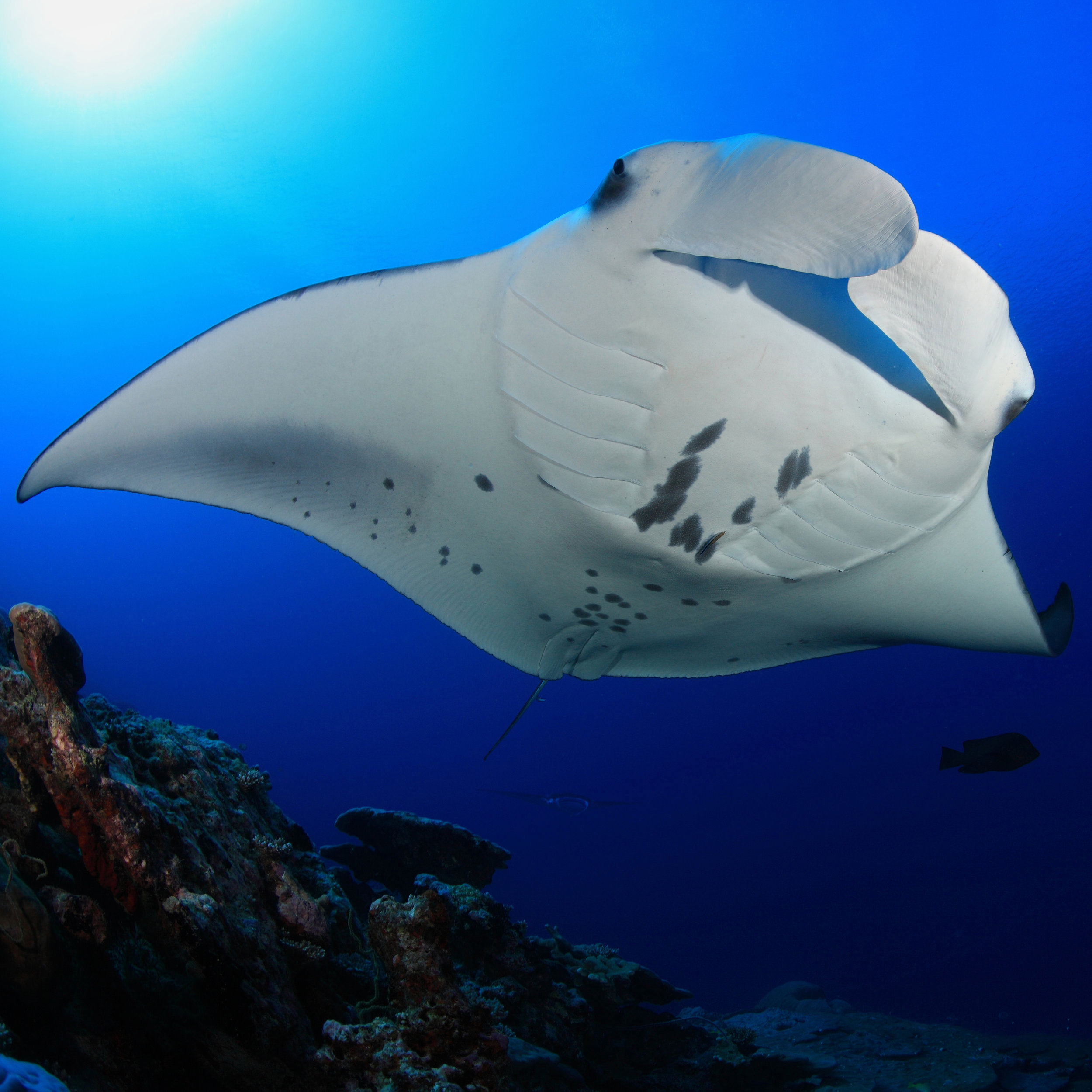 Manta Ray, Papua New Guinea diving