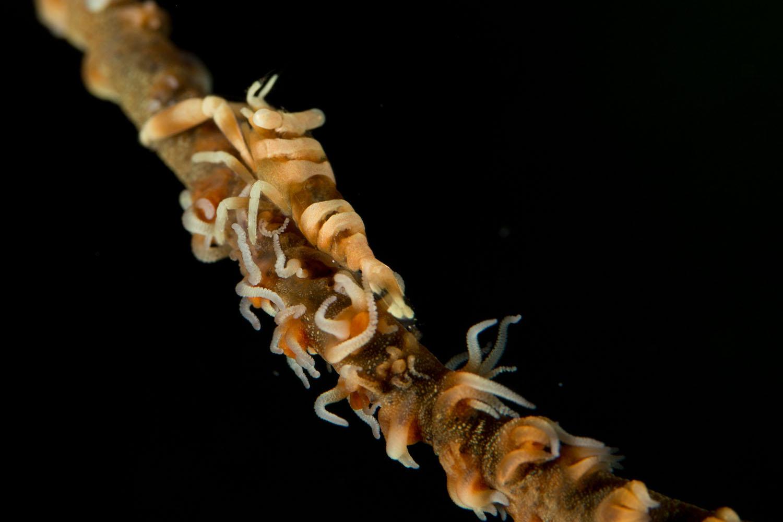 Crinoid Shrimp.JPG