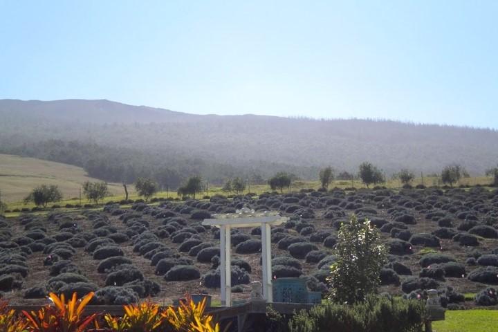 Maui Lavender Field.jpg