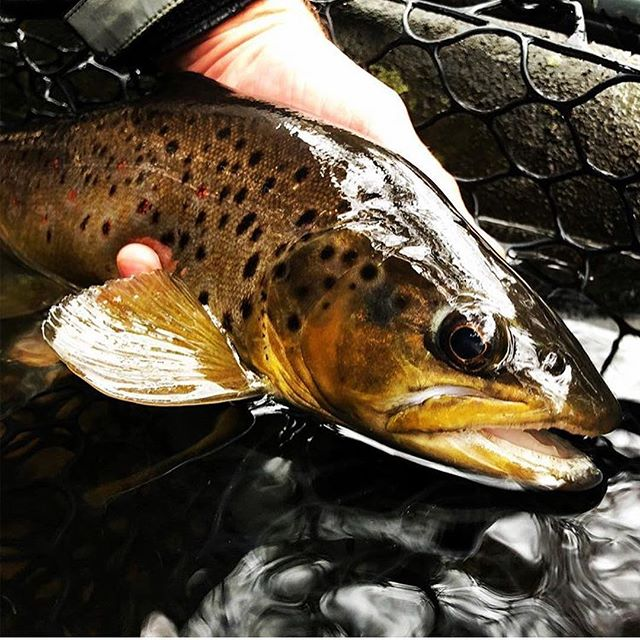 Chris (@fish_and_eat) has been getting out there and finding some healthy browns by chucking streamers. How's your late fall/early winter fishing going? . . . . . . . #njfishing #flyfishingnation #flyfishing #flyfishingguide #njflyfishing #catchandrelease #flytying #fishing #nj #newjersey #gardenstate #browntrout #wildtrout #troutfishing #trout #flyfishingjunkie #flyfishingaddict #cwcfishingco #getoutthere #explore #adventure #intothewild #wild #letemgosotheycangrow #troutbum #wildbrowntrout #orvis #orvisflyfishing #flyfishingphotography #onthefly