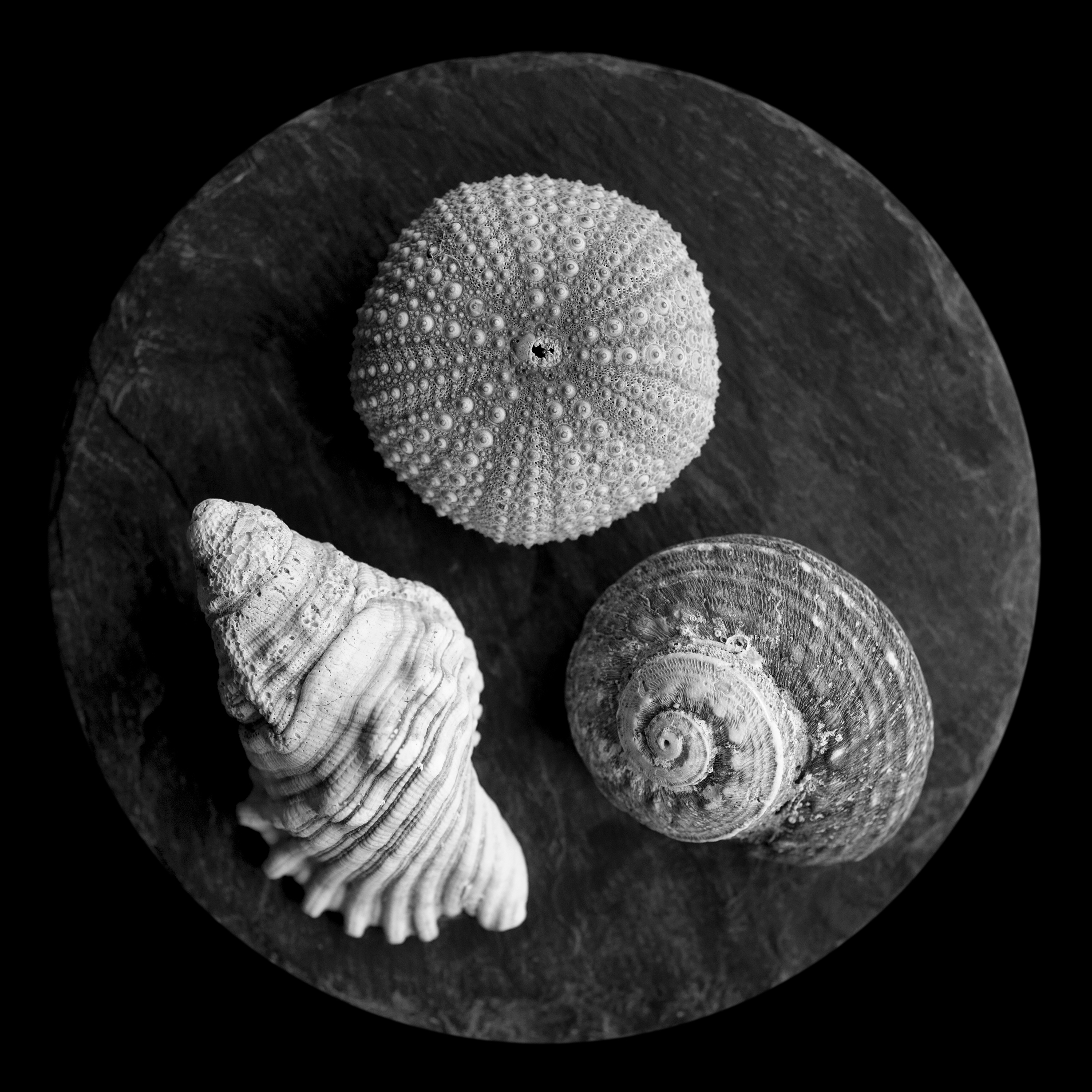 Shell Study, after Max Dupain.