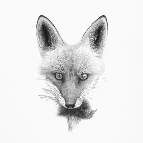 Vulpes, vulpes (Red Fox)