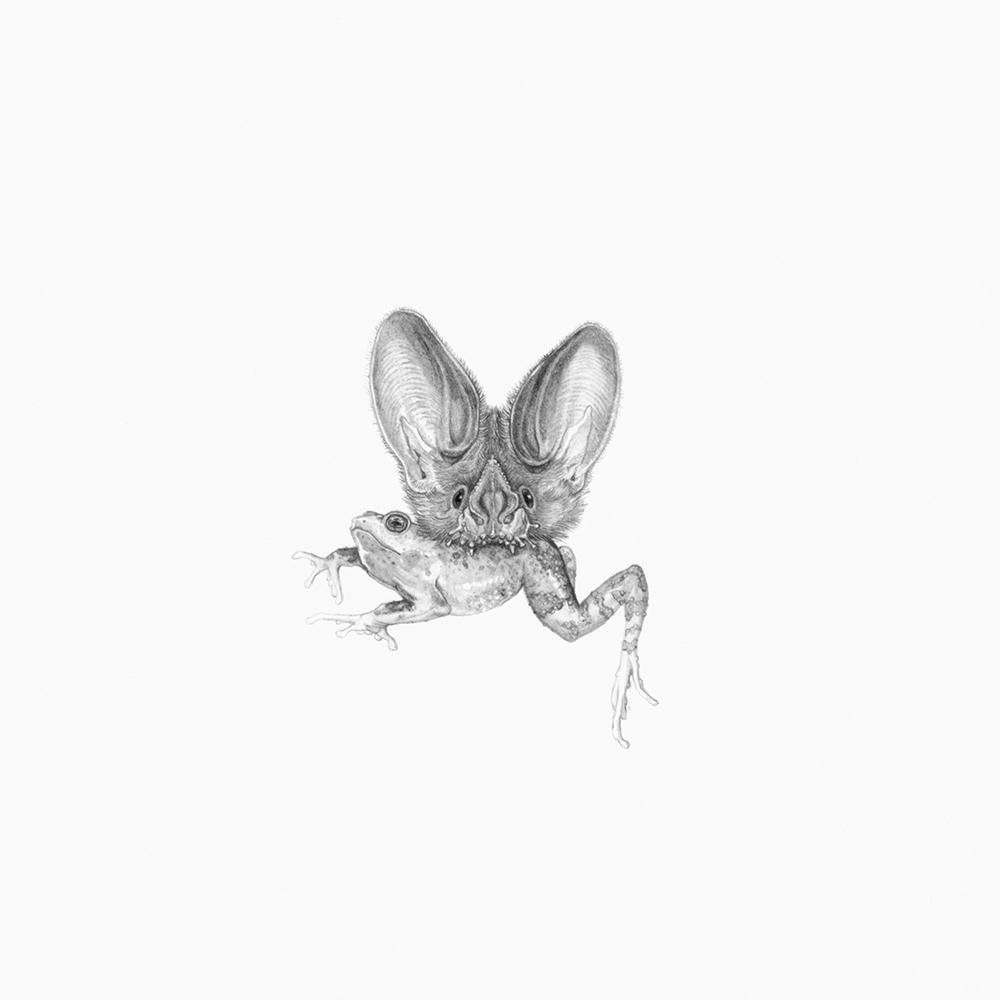 Trachops cirrhosis (Fringe-lipped bat)