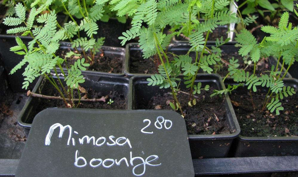 Mimosa Boontje.jpg