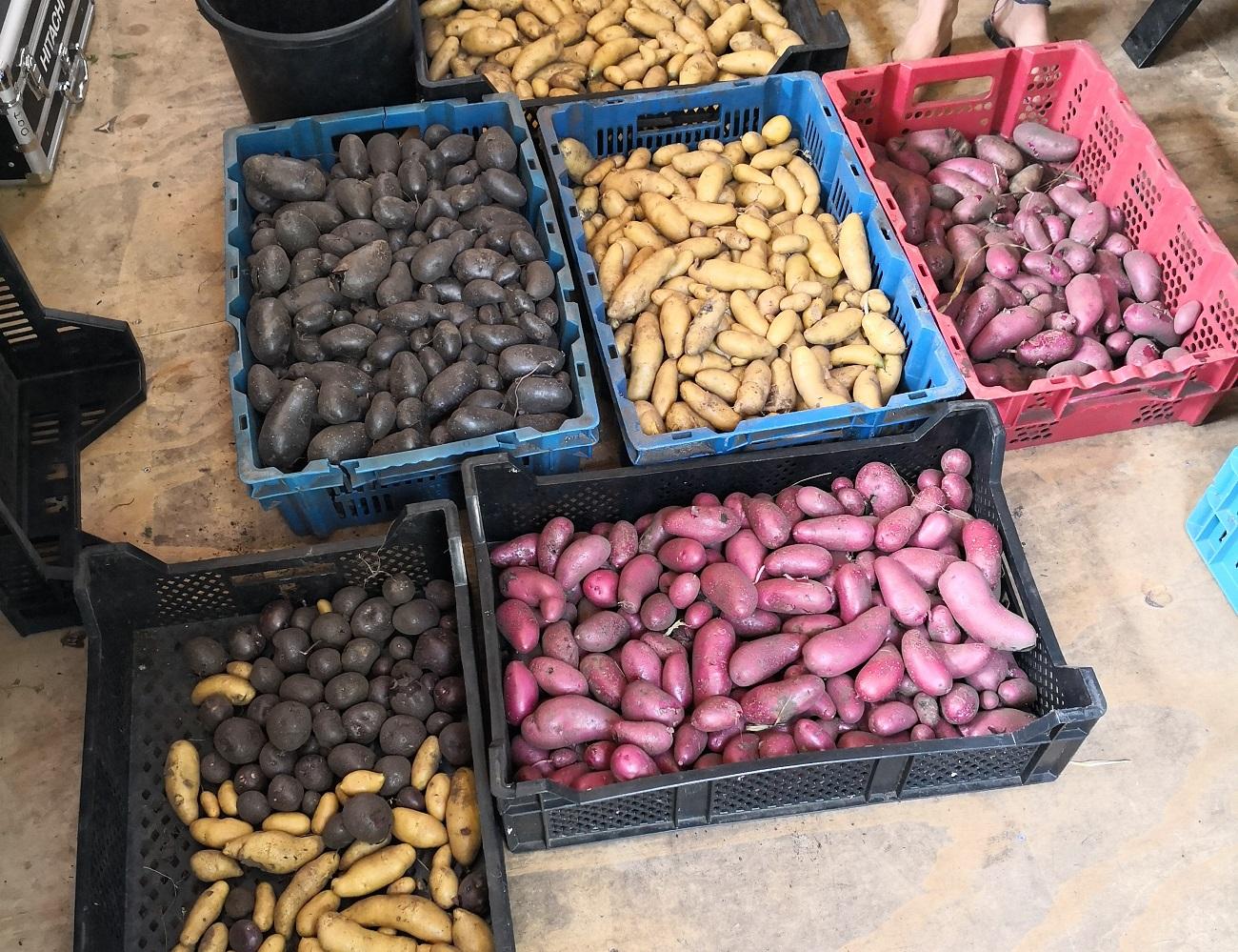 08-18 Aardappels krat.jpg