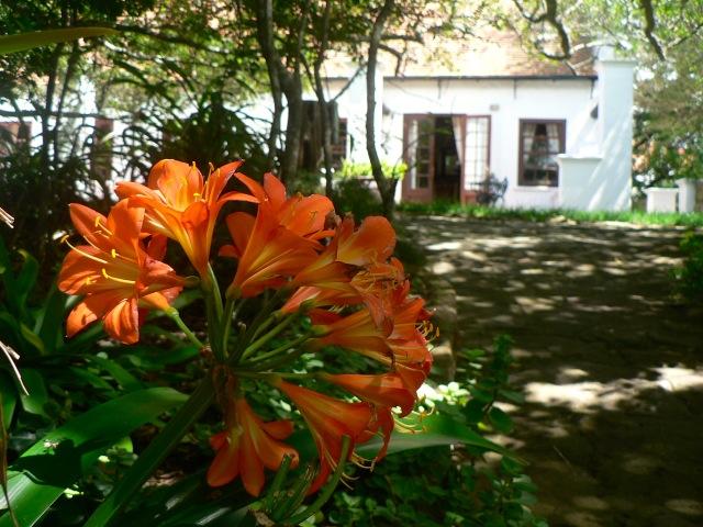 Clivias in spring
