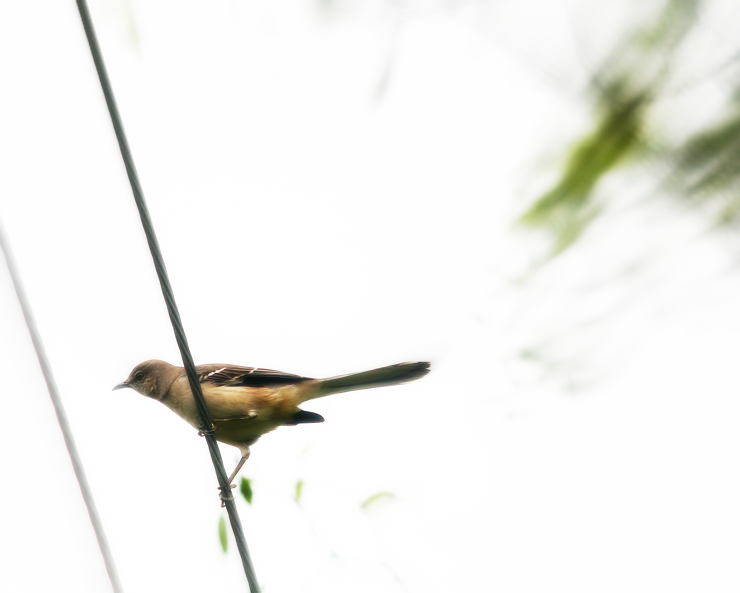 tallybird1.jpg