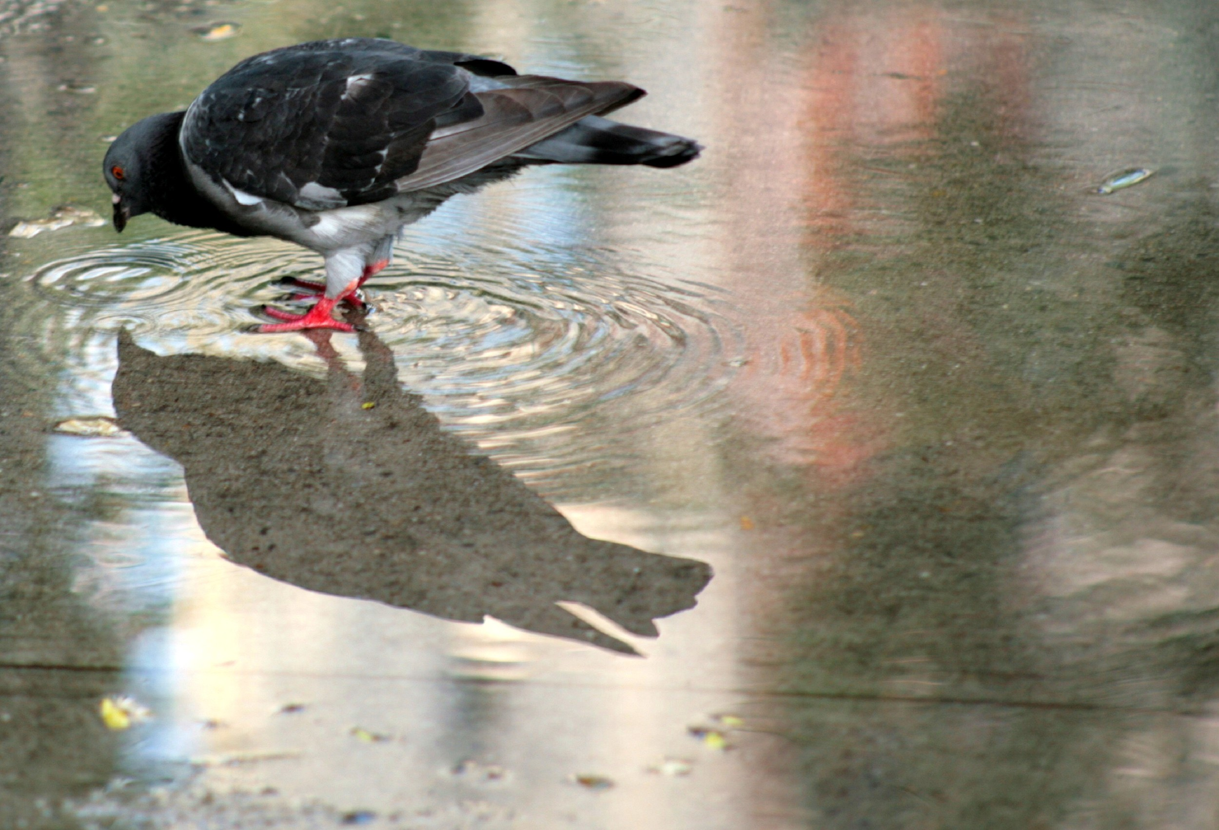 pigeonpuddle.jpg