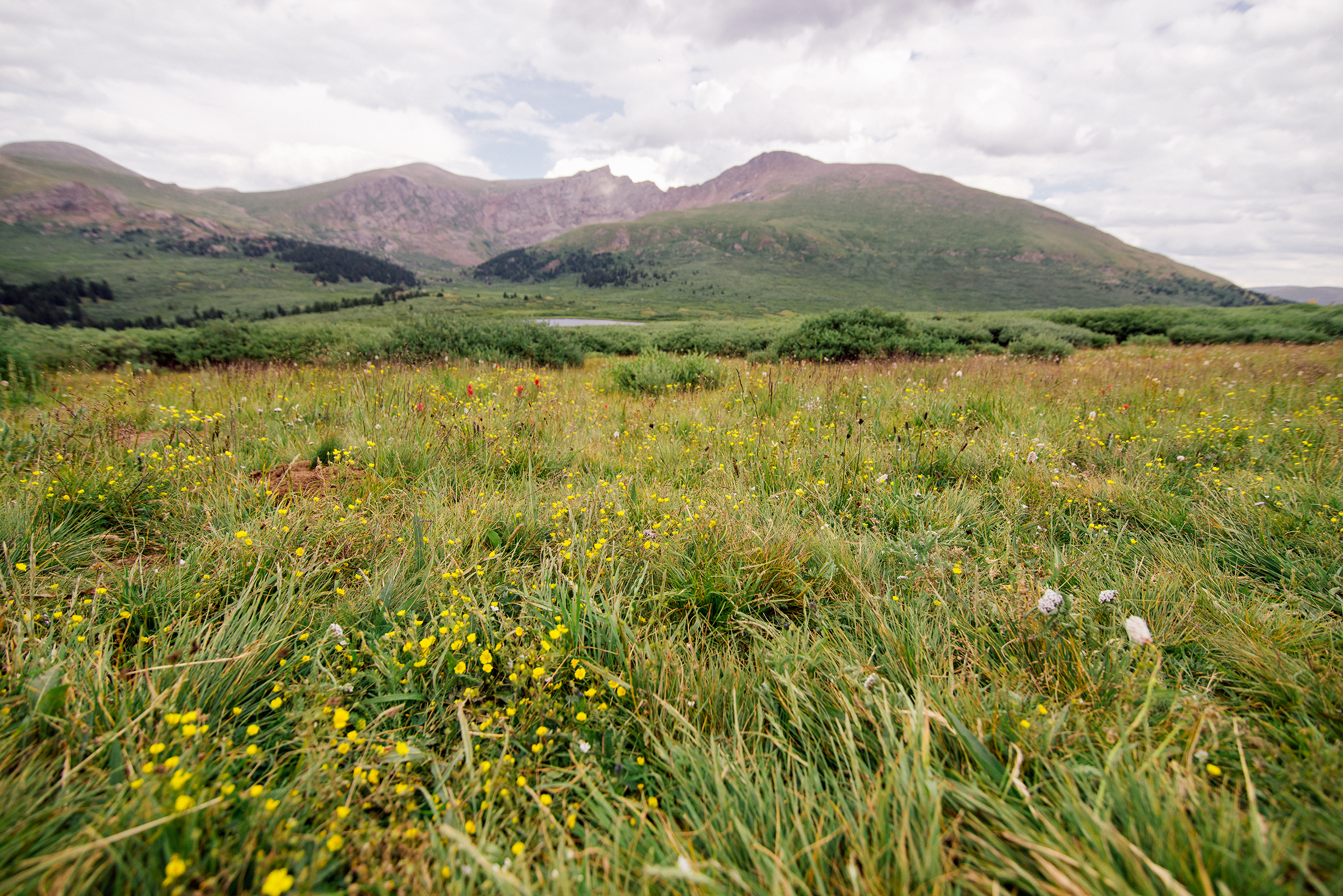 Alpine Flowers in front of Mount Bierstadt