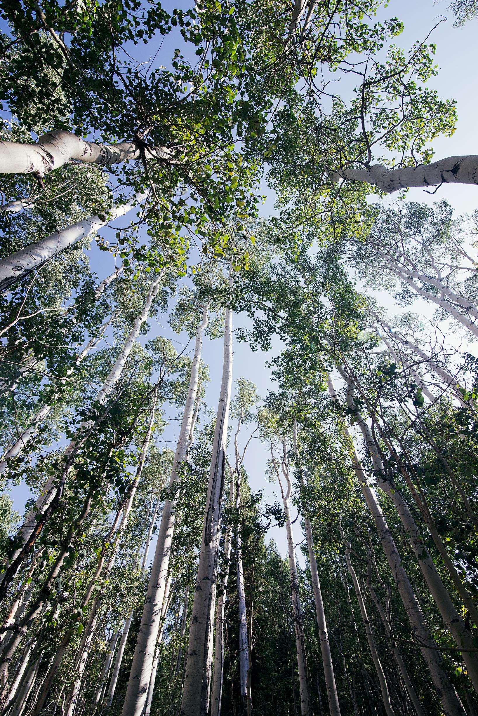Aspen Trees Overhead