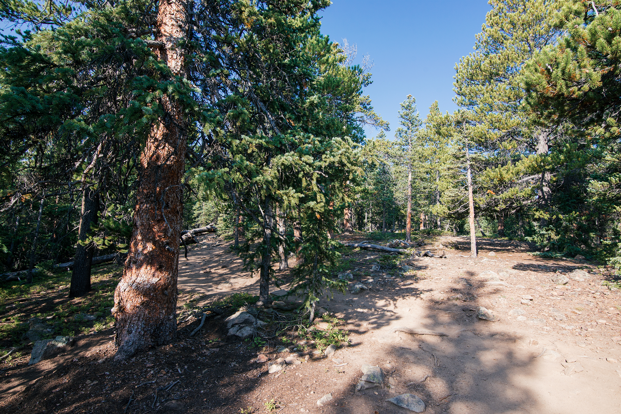 Forest on Mount Elbert