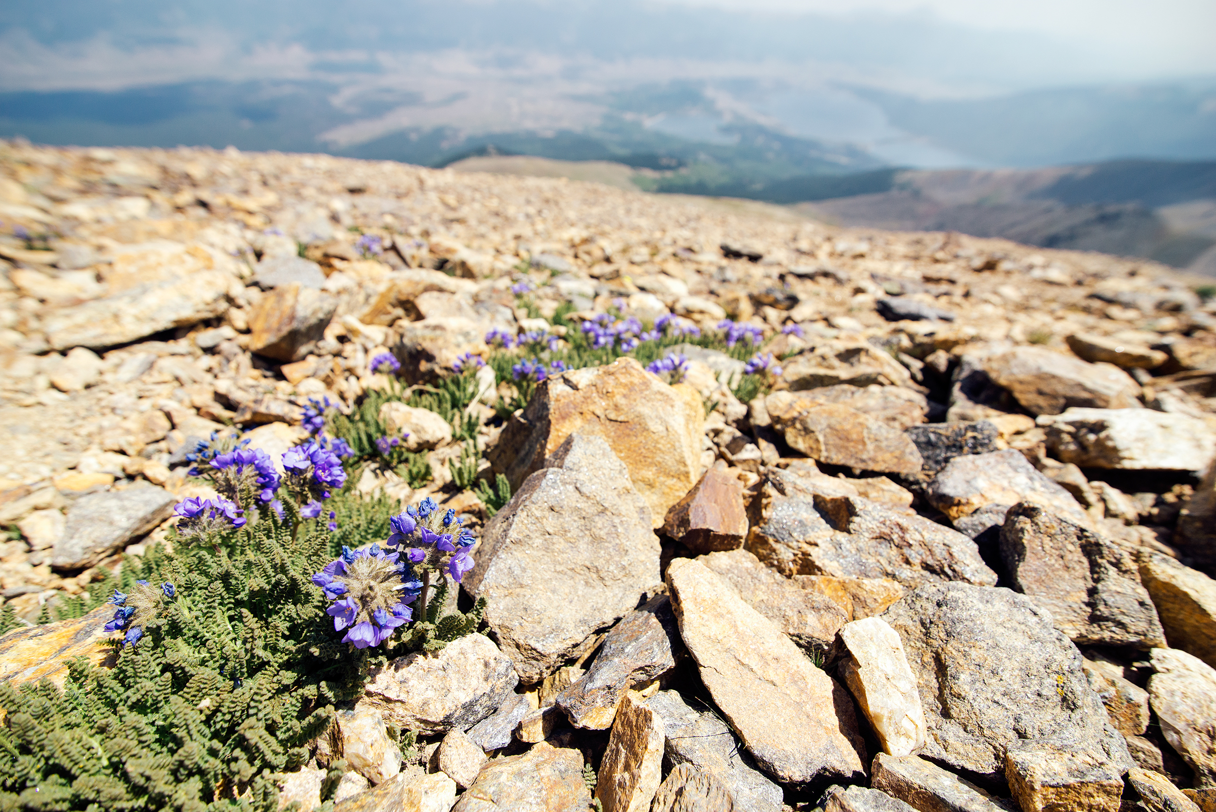 Alpine Flowers on Mount Elbert