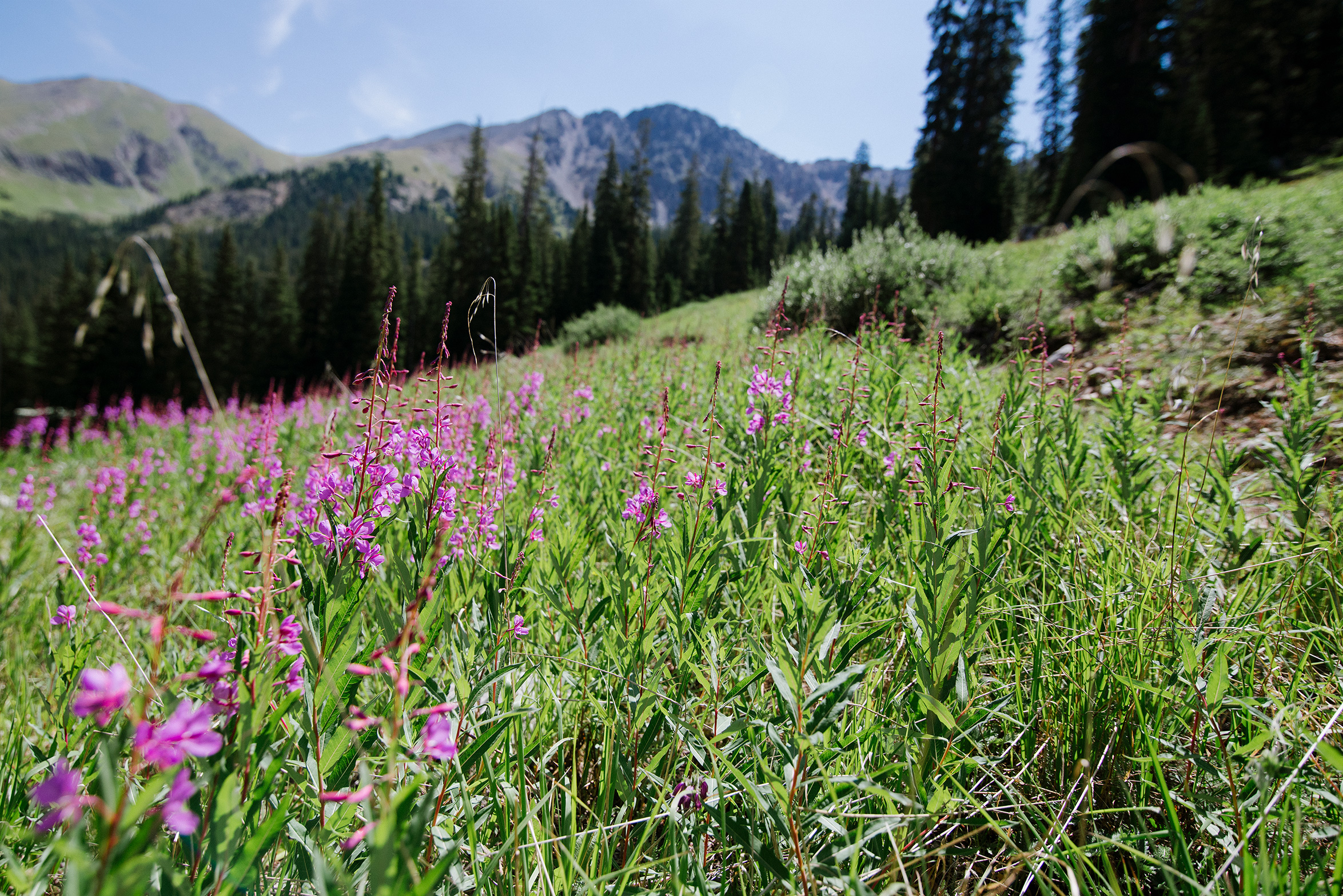 Wildflowers at Arapahoe Basin