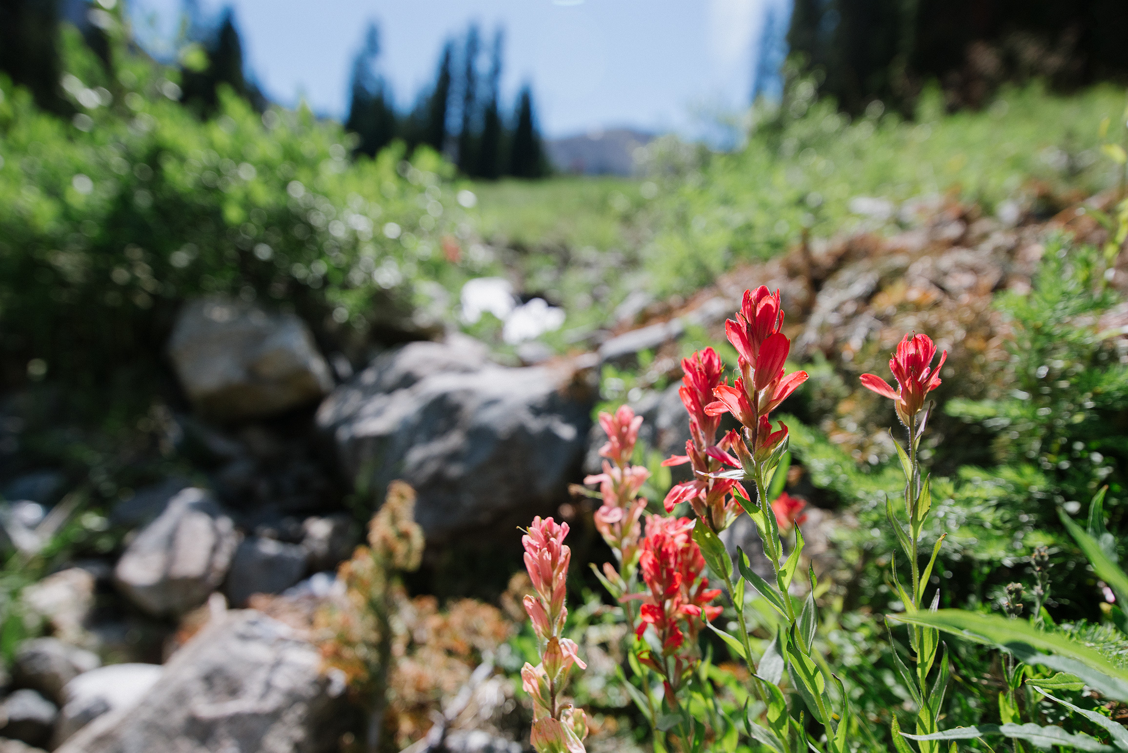 Indian Paintbrush at Arapahoe Basin