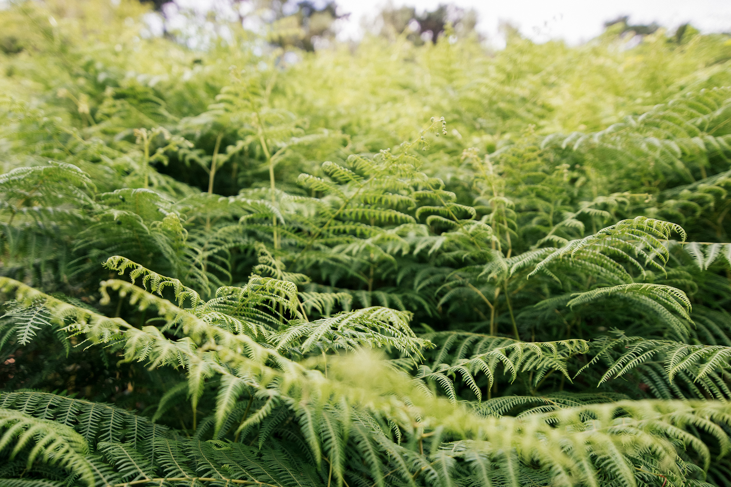 Fields of ferns