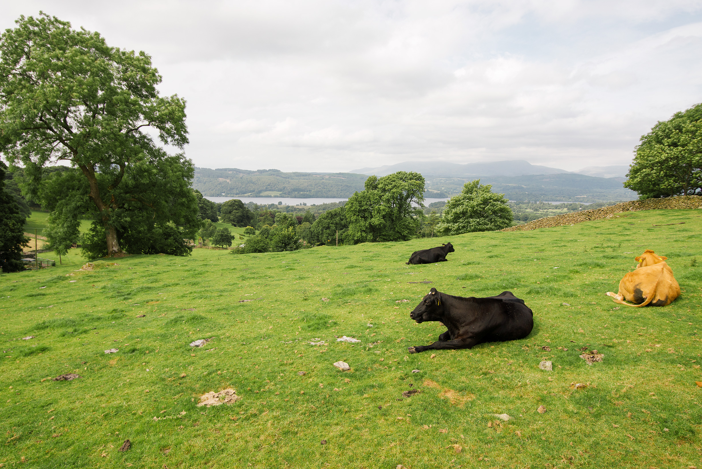 Cattle near Windermere, Lake District, United Kingdom