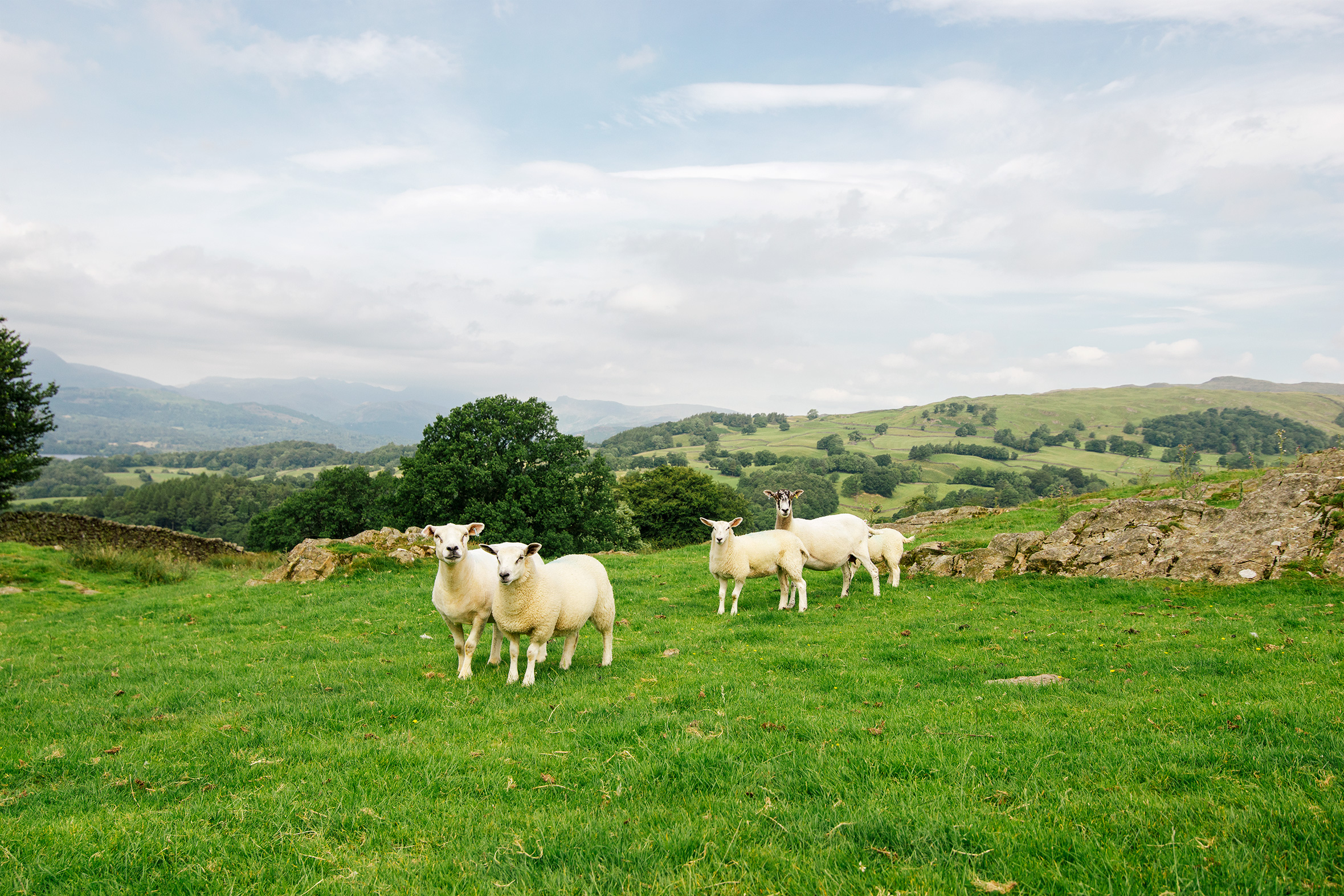 Sheep near Windermere, Lake District, United Kingdom