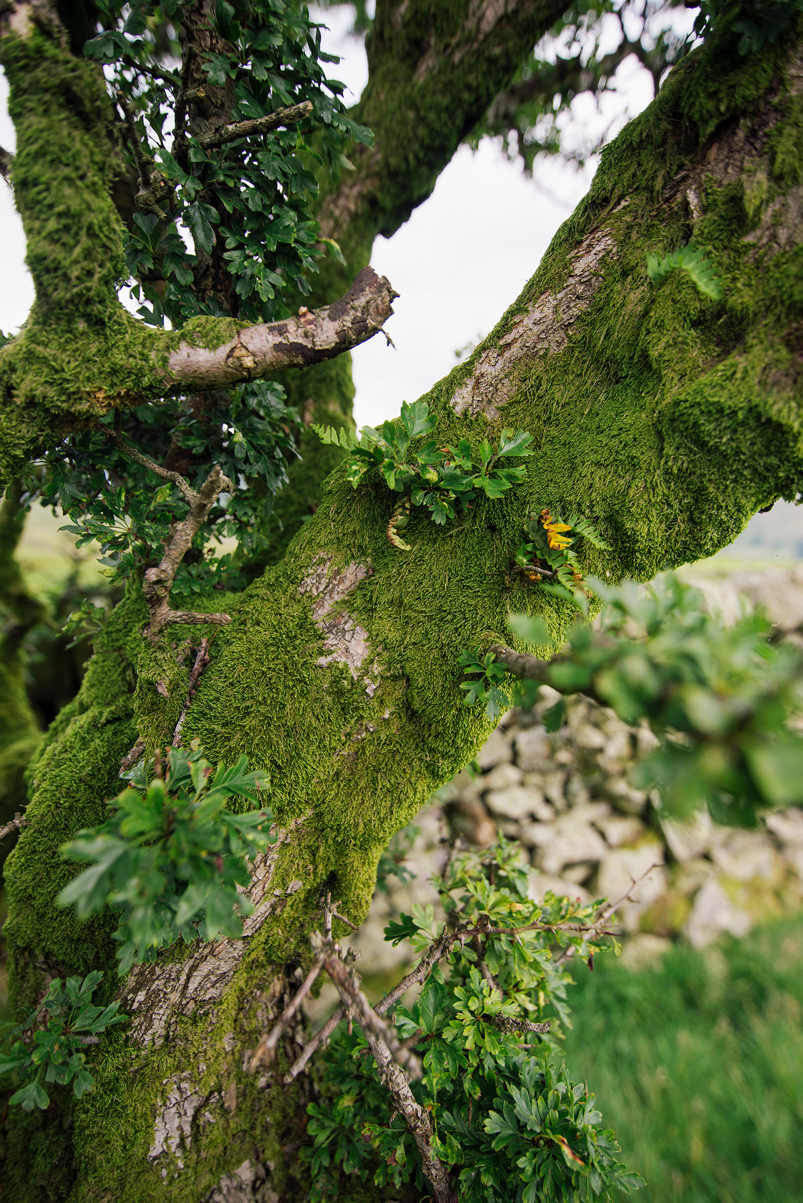 Moss covered tree near Troutbeck, Lake District, United Kingdom