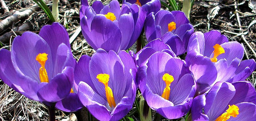 Spring Crocuses at The White Rabbit Inn