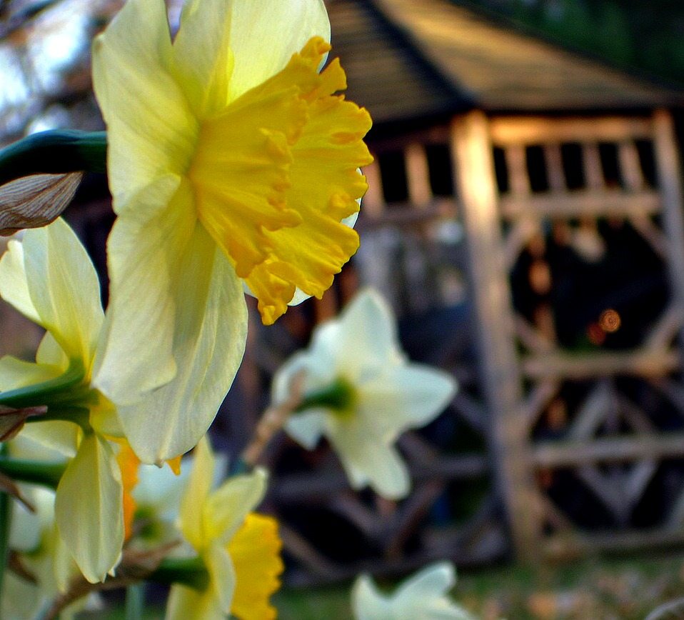 Daffodils and Gazebo at The White Rabbit Inn