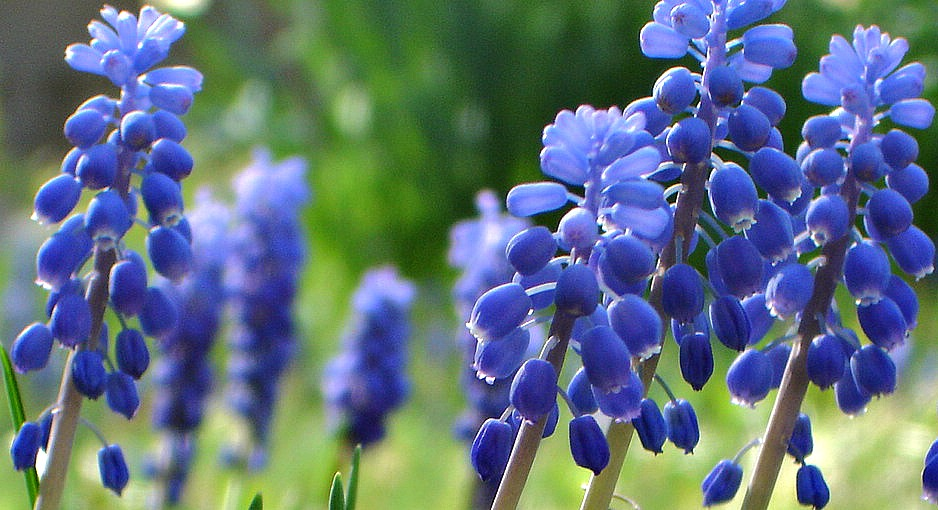 Wild Grape Hyacinths at The White Rabbit Inn