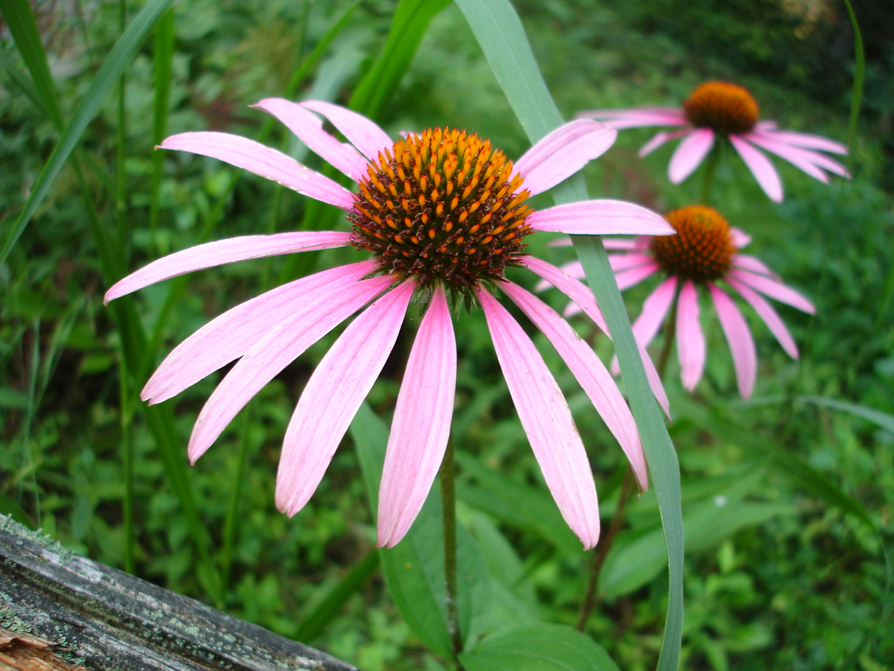 Purple Coneflowers at The White Rabbit Inn