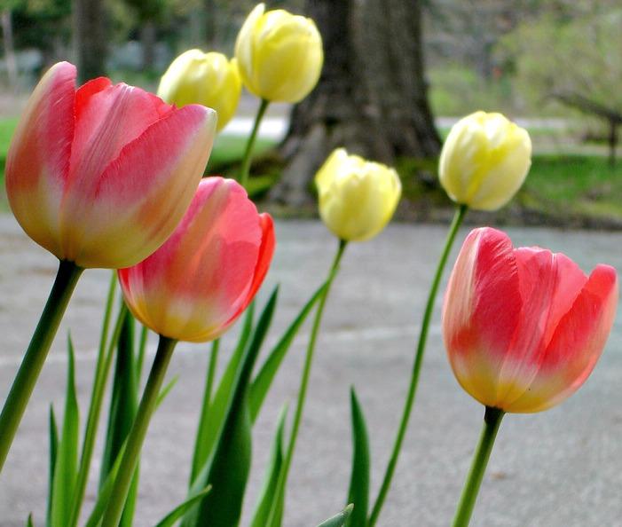 Tulips050413.jpg