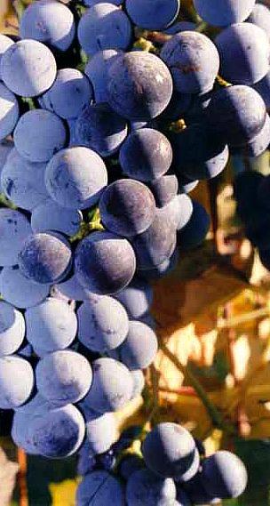 Michigan Grapes on the Vine