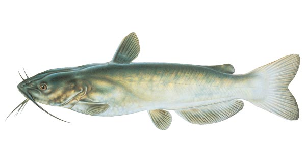 """Channel Catfish are excellent food and sport fish and do well in most ponds. They do not overpopulate and are primarily scavengers and live on the pond bottom.  5-7"""" $.50 each. Larger and smaller sizes available by request. Please email or call or office with inquires."""