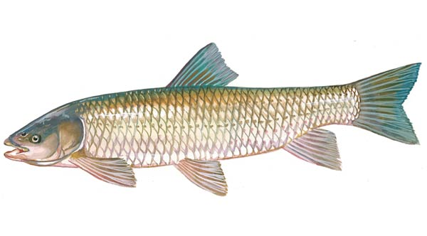 """Grass Carp are used for pond algae and weed control. they eat the vegetation and clean up the ponds. The usually live about15-20 years and can grow to over 30 pounds. Recommended stocking rate is 25-60 per surface acre depending on the type and amount of vegetation. Grass Carp are most effective the first 5-7 years. Annual stocking may be needed to maintain control of pond vegetation.  Sizes from 9-12"""" ($12.00 each) Larger sizes available by request. Please email or call or office with inquires."""