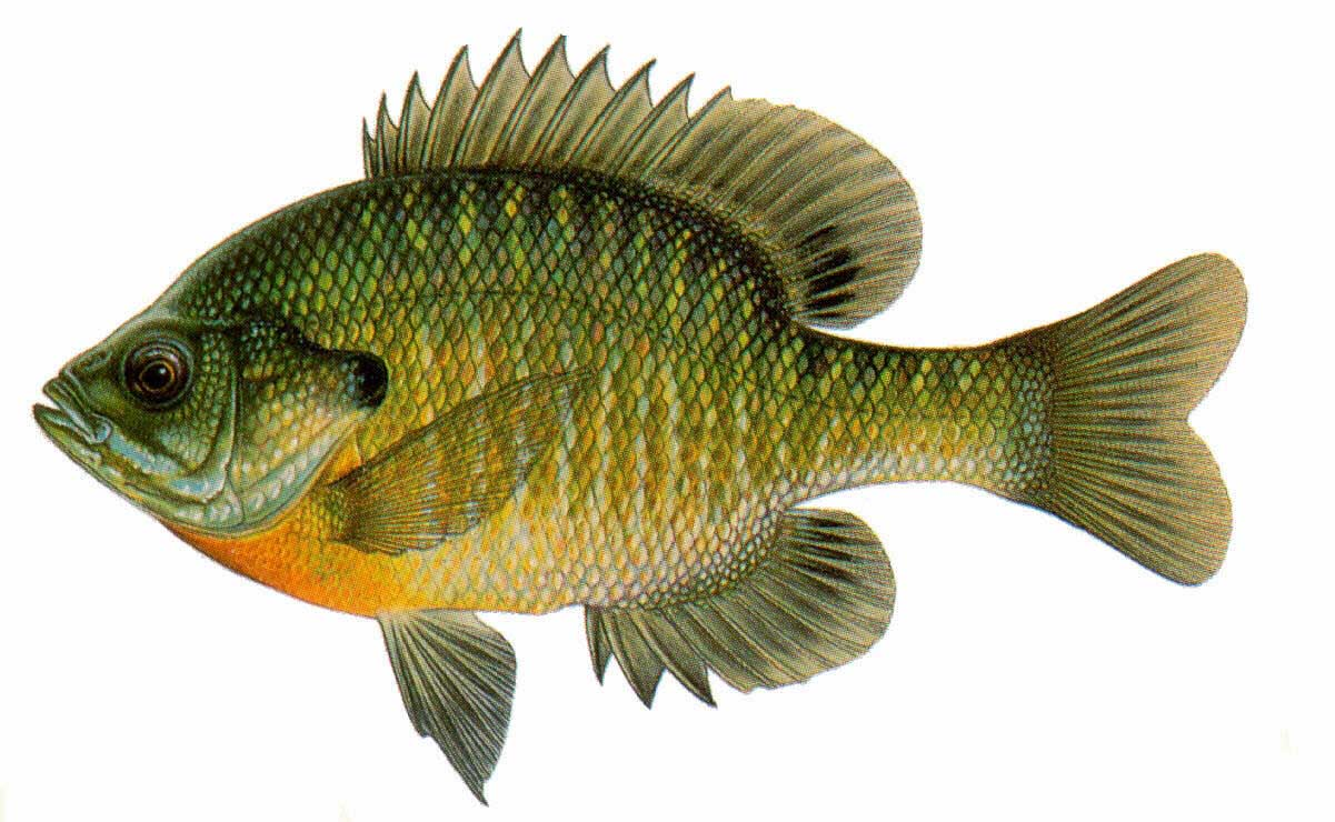 """Coppernose Bluegill are an excellent forage fish for bass and are a good food fish. They can reach about 1 to 2 pounds each. You cannot grow large bass without a good bluegill population.  2-3"""" $.50 each. Larger and smaller sizes available by request. Please email or call or office with inquires."""