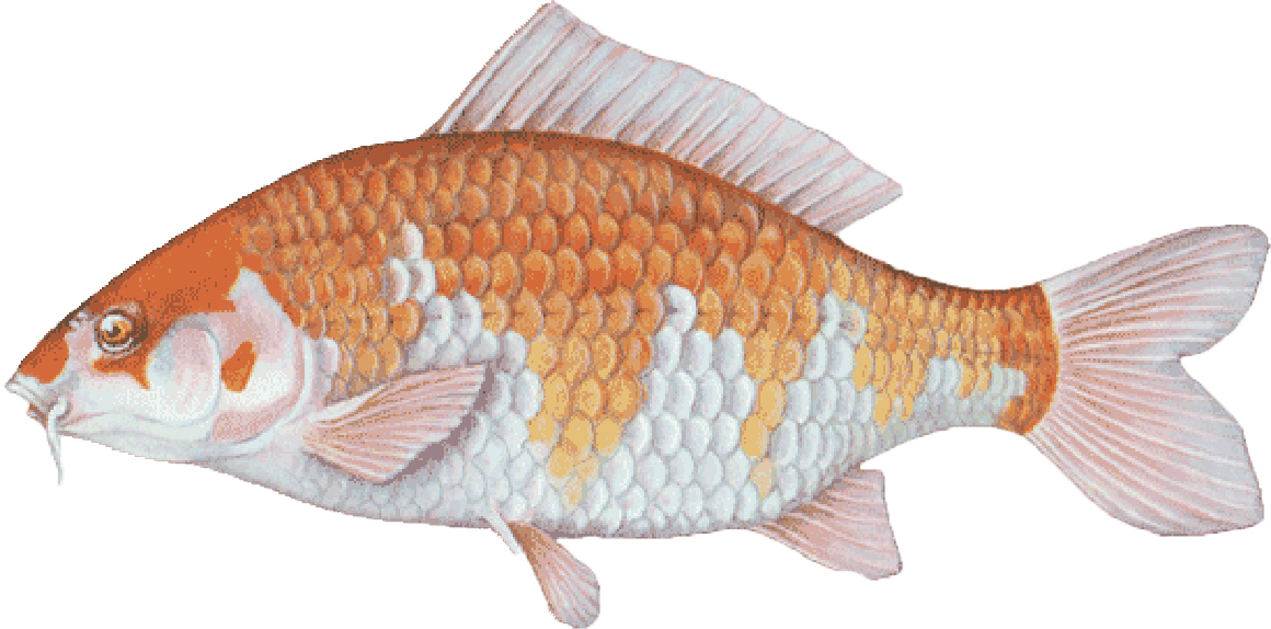 """Koi are ornamental fish and colorful members of the carp family. Fin, scale and color patterns vary. They are often stocked in decorative ponds. Sizes vary.  Sizes from 5"""" ($5.00 each) Larger and smaller sizes available by request. Please email or call or office with inquires."""