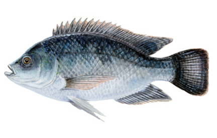 Tilapia are a non-native fish that looks very similar to a bluegill. They are a sub-tropical species and therefore will not survive the winter in Kentucky and Tennessee. They have an extremely high reproductive potential; Tilapia can spawn every 3 weeks when the water temperature exceeds 70 degrees. They eat vegetation, detritus, small insects and plankton. They are an excellent food fish. These fish are NOT available October-April.  Seasonal availability. Late Spring and Early Summer. Please email or call or office with inquires.