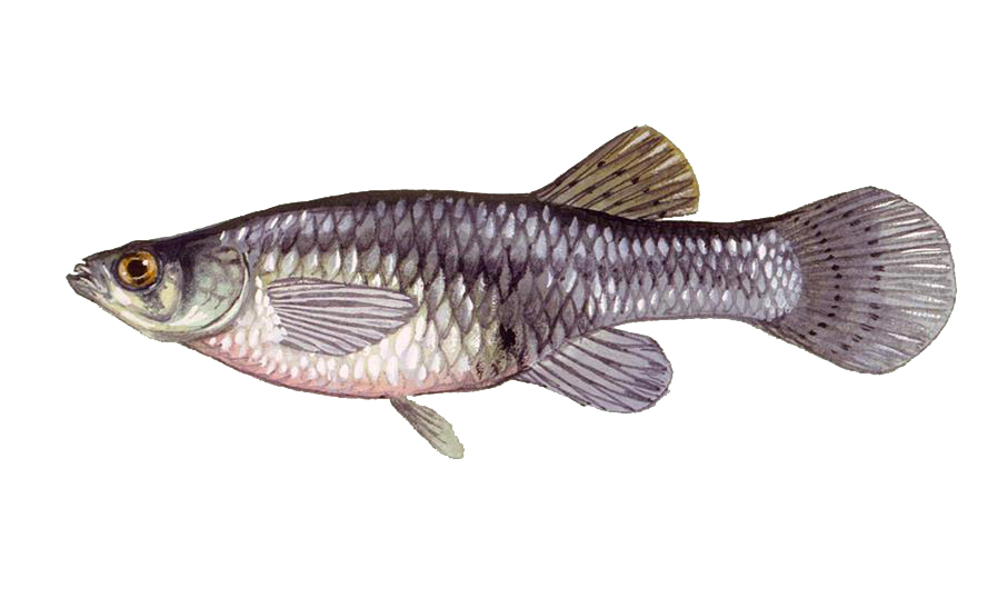 """The Gambusia or Mosquito Fish eats the larvae of mosquitoes. We sell them to help keep mosquito populations down. These fish are native to Kentucky and Tennessee.  Sizes from 1""""-2"""" ($80.00 per bag - bag of 100-150 adult fish) available for special order. Seasonal availability. Summer only. Each bag will treat 1 surface acre and do not need to be restocked."""
