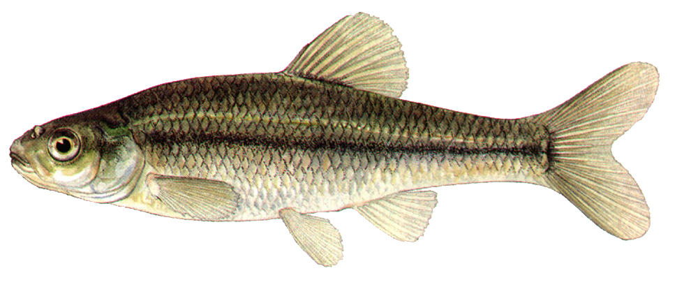 These minnows are a native species that spawn readily in ponds and lakes. They reproduce 2-3 times a year and are an excellent forage fish for gamefish.  $10.00 per pound (about 300 minnows per pound)